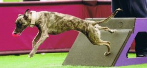 Sprite Whippet FDCH